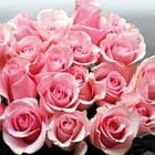 Саженцы чайно-гибридной розы  Титаник (Rose Titanik), фото 2