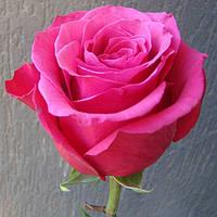 Роза чайно-гибридная Топаз (Topaz)