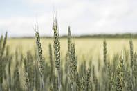 Семена пшеницы яровой МИП Злата, супер элита