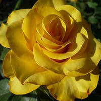 Роза бордюрная Керио (Kerio)