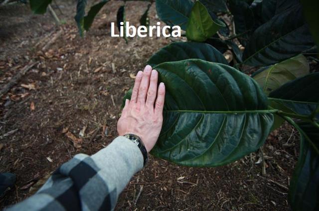 где можно купить либерику в Украине, какой вкус у либерики?