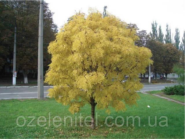 Ясень обыкновенный 'Голден'/ Fraxinus excelsior 'Golden' / Ясен звичайний 'Голден'