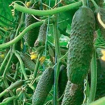 Семена огурца Хелен F1 (500 сем.)