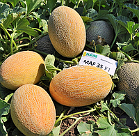 Дыня Мазин F1 Clause 1000 семян