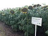 НС Сумо 2017 под гранстар, Семена Сумо под экспресс для Юга. Урожайный подсолнух. Стандарт, фото 2