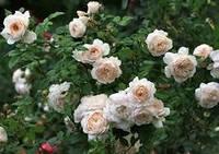 Крокус Роуз, фото 2