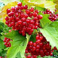 Калина красная садовая, 15-25 см, 2-летки, контейнер 0,5 л
