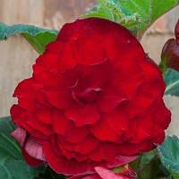 Бегонія Махрова Темно-червона Begonia Double 'Dark Red' (бульба) 5/6 Нідерланди
