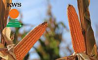 Семена кукурузы Эмилио от КВС (KWS)