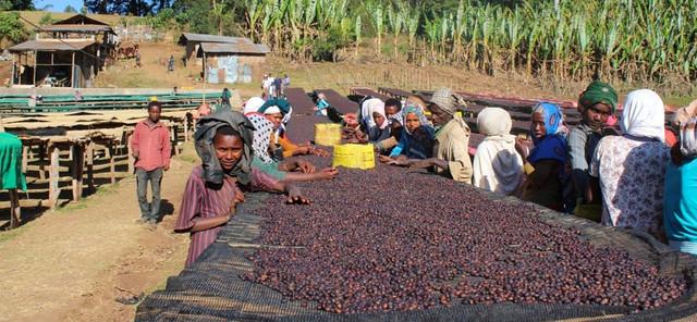 свежеобжаренный кофе в зернах арабика эфиопия Сидамо натуральный