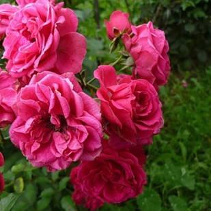 Саженцы плетистой розы Супер Дороти (Super Dorothy)