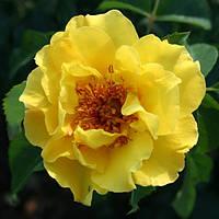 Роза плетистая Лихткенигин Лючия (Lichtkonigin Lucia)