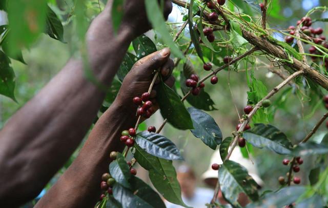 кофе арабика эфиопия Иргачиффе в зернах купить в интернет магазине