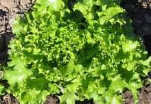 Насіння салату, зелені
