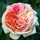 Саджанці троянди - плетистої Алхимист (Rose Alchymist), фото 3