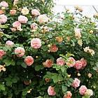 Саджанці троянди - плетистої Алхимист (Rose Alchymist), фото 4