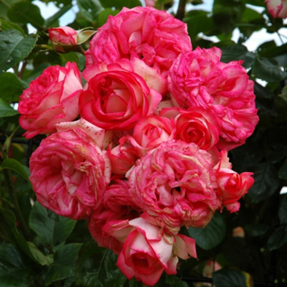 Саженцы розы - плетистой Антик (Rose Antik)
