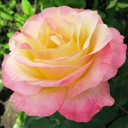 Саженцы чайно-гибридной розы Глория Дей (Rose Gloria Dei)
