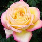 Саженцы чайно-гибридной розы Глория Дей (Rose Gloria Dei), фото 2