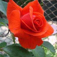 Роза плетистая Майнтауэр (Maintower)