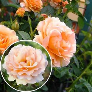 Саженцы плетистой розы Полька (Polka)