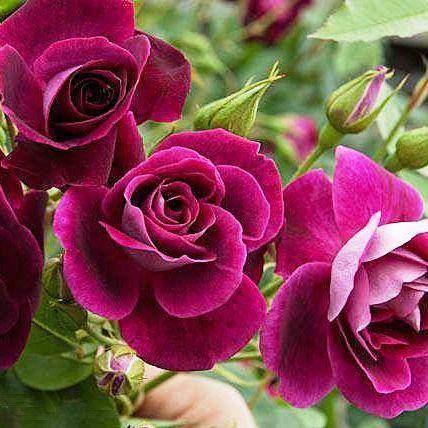 Саженцы розы флорибунда Бургунди Айс (Rose Burgundy Ice)
