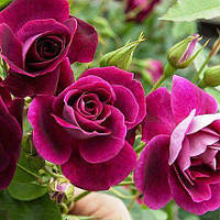 Роза флорибунда Бургунди Айс (Burgundy Ice)
