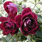 Саженцы розы флорибунда Бургунди Айс (Rose Burgundy Ice), фото 2