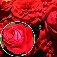 Роза флорибунда Кордула (Cordula)