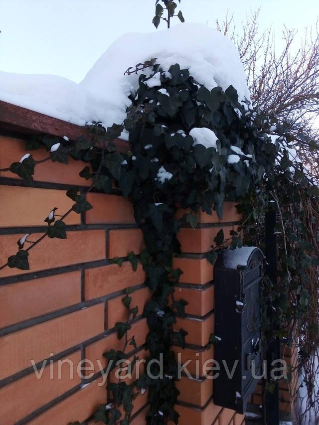 плющ декоративный европейский коллекционный, жимолость каприфоль, жасмин, виноград виче, горец больджуанский, лианы