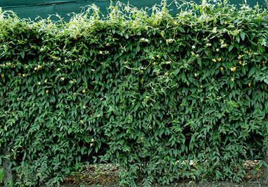 Жимолость Загострена(вічнозелена) 2 річна, Жимолость Заострённая, Lonicera acuminata