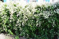 Растения для живой изгороди, фото 1