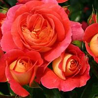 Роза флорибунда Гебрюдер Гримм (Gebruder Grimm)