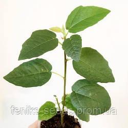 Фикус «Фрэд Бутин» — молодое растение 10-15 см РЕДКИЙ