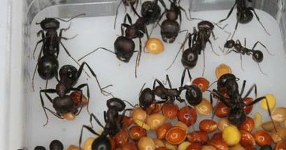 Корм для колонии муравьев (склад Мессора), фото 2