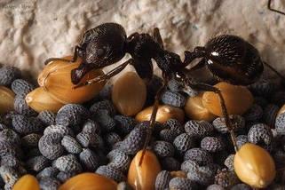 Корм для колонии муравьев (склад Мессора), фото 3