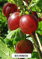 Саженцы крыжовника Колобок саженцы плодовых