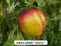 Саженцы нектарина сорт лола саженцы плодовых