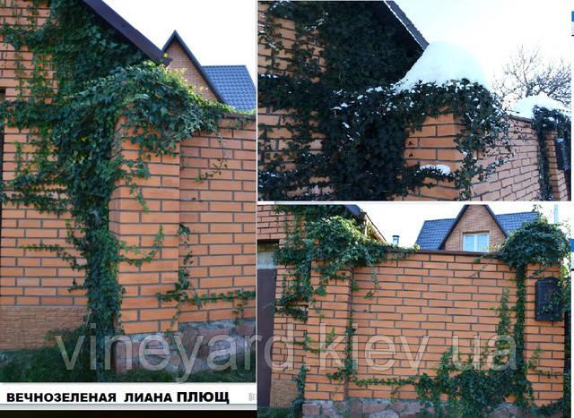 красивый забор, двор интерьер, растения для интерьера, декоративные стены, озеленить дом, лианы для балкона, как посадить плющ, плющ растет в Киеве, зимует, вечнозеленые растения для