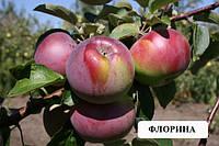 Саженцы яблони в ассортименте,саженцы яблони и других плодовых
