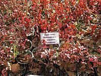 Кусты барбариса, бояришника, шиповника, кизильника, спиреи, бересклета, калины для живых изгороди
