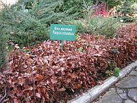 Саженцы бука, граба, липы, ели, сосны для живых изгородей, заборов, живоплотов., фото 1