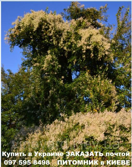 медонос цветет осенью в сентябре октябре, пчела готовится зимовать, пасеку обсаживают медоносами, ульи с медом, подкормить пчел осенью, красивые и полезные растения, решение для озеленения сухостоя, гречишка больджуанская, вьюнок для забора
