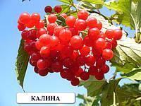 Трехлетние растения Калины саженцы плодовых