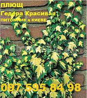 Плющ Золотое сердце лиана вечнозеленая зимостойкая, черенки укорененные