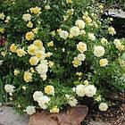 Саджанці бордюрної троянди Жовта Лялька (Yellow Doll), фото 2