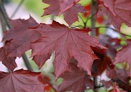 Клен гостролистий Royal Red 2 річний, Клен остролистный Роял Ред, Acer platanoides Royal Red, фото 3