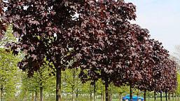 Клен гостролистий Royal Red 2 річний, Клен остролистный Роял Ред, Acer platanoides Royal Red, фото 2
