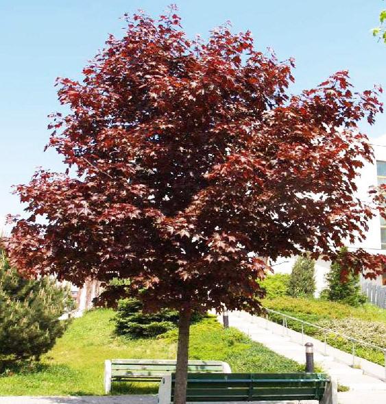 Клен гостролистий Royal Red 2 річний, Клен остролистный Роял Ред, Acer platanoides Royal Red