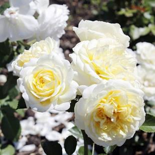 Саженцы почвопокровной розы Кент (Rose Kent)